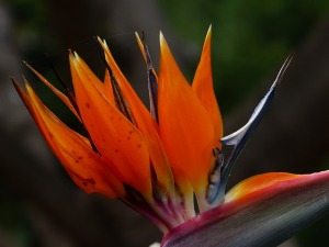 bird-of-paradise-flower-384344_640